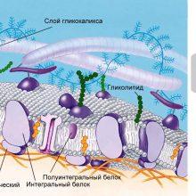 Урок онлайн. Строение клетки. Клеточная мембрана