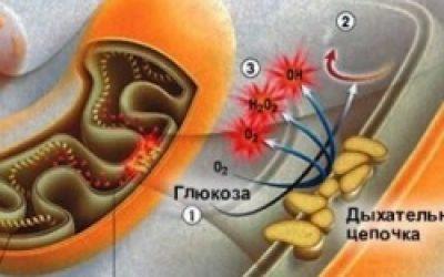 Видео-урок. Двумембранные органоиды клетки: митохондрии и хлоропласты