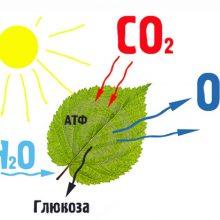 Урок онлайн. Фотосинтез