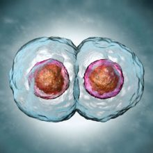 Урок онлайн. Клеточный цикл. Митоз