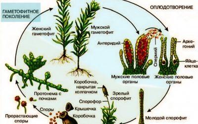 Занятие для подготовки к ЕГЭ. Систематика растений. Чередование поколений.